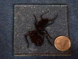 Ant on glass coaster  - entomologist Glenelg Holdfast Bay Preview