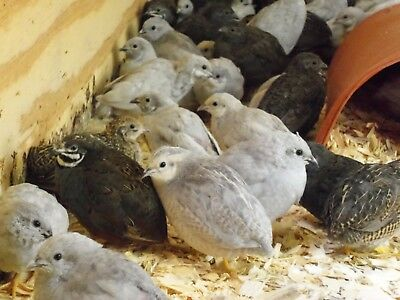 24 With Up To 16 Extra Fresh Fertile Button Quail Hatching Eggs