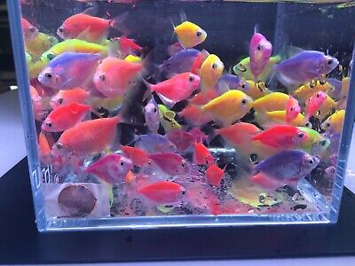 6 Assorted Glofish Tetra