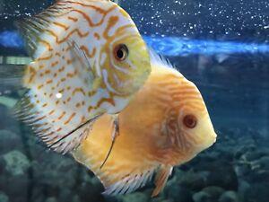 Discus fish proven paire