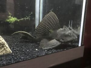 12 inch high fin pleco for sell or trade
