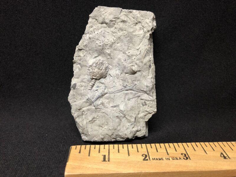 Crinoid-Uncommon Waldron Eucalyptocrinites crassus with stem-Trilobite Fossil
