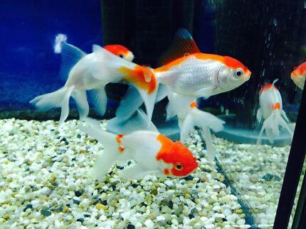 Cold water aquarium fish australia for Cold water pet fish