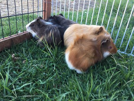 Young female guinea pigs for sale