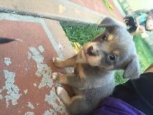 Kelpie x Pups Morayfield Caboolture Area Preview
