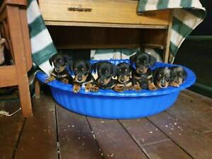 Dachshund puppies with a dash of Border Collie