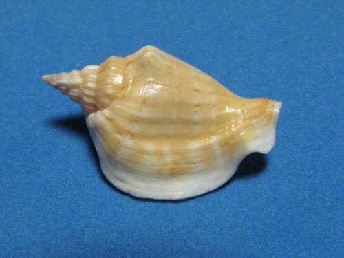 "Strombus dilatata orosmina (Duclos,1844) ""BEAUTIFUL""  (39.2mm)"