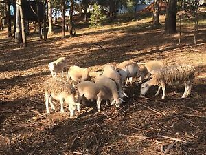 White dorper 1 ram and 5 ewes Maitland Maitland Area Preview