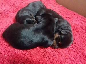 Australian Terrier Blue/Tan Pet Home Only Dubbo Dubbo Area Preview