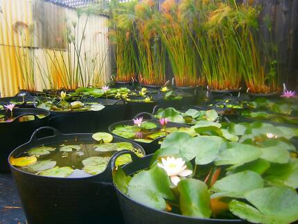 Water Plants (Papyrus, Water Lilies, Lotus, Pond Plants)