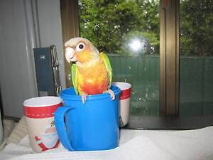 HAND REARED BABY PINEAPPLE CONURE Nerang Gold Coast West Preview