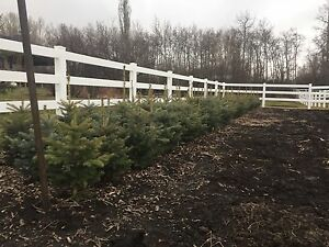 2.5-3.5 ft blue and green Colorado spruce trees