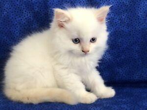 Stunning Cream Point Ragdoll Kitten Boy