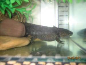 BLACK AXOLOTL (Fish tank not incl) Hallett Cove Marion Area Preview