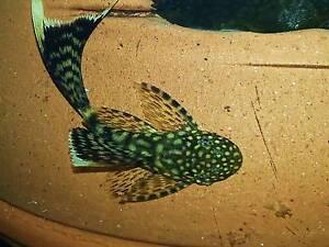 longfin bristlenose + african cichlids.- fr:$5ea Fairfield Fairfield Area Preview