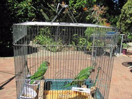 BIRD   MOUSTACHE PARROT