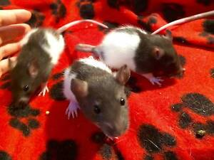 cute baby rats for sale as pets, sydney Strathfield Strathfield Area Preview
