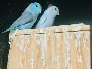 Parrotlets Breeding Pair