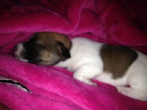 Jack Russell Puppies London Ontario image 3