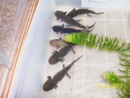 axolotls 16cm long