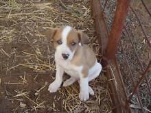 Lurcher Pups Loxton Waikerie Preview