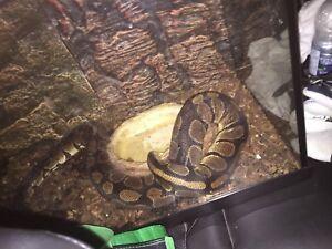 Serpents python royal 150$
