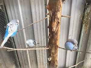 lost budgies if found please call  ‭0‬ Narre Warren South Casey Area Preview