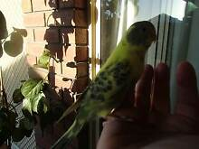 Tame Baby Budgies Hillbank Playford Area Preview