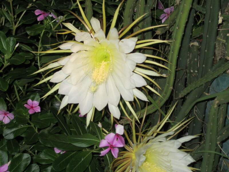 Rare climing night blooming cactus Selenicereus Grandiflorus
