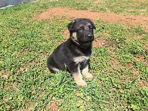 [All taken] Adorable Pure Breed German Shepherd