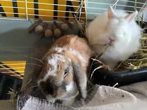 Two Bunnies, Cages and Accessories For Sale