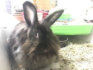 Lion head bunnies for rehoming