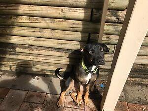 Staffs cross Ridgeback puppy for sale Rydalmere Parramatta Area Preview
