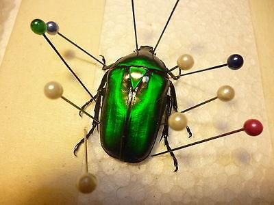 Rhomborrhina gigantea..Jewel Beetle. Malaysia
