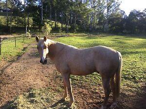 PALOMINO QUARTER HORSE GELDING Eudlo Maroochydore Area Preview