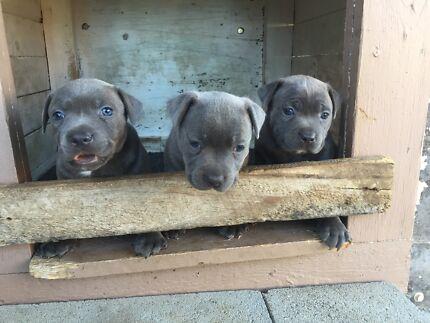 Wanted: Blue English staffy pups