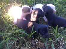 Jack Russell x chihuahua puppies Mummulgum Kyogle Area Preview