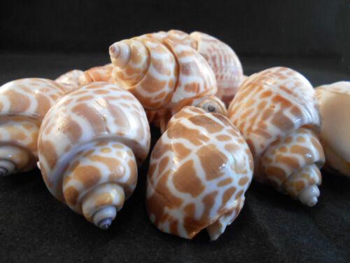 "12 Large Spiral Babylon Shells 2 - 2 1/2"" Beach Crafts Coastal Decor Wedding"
