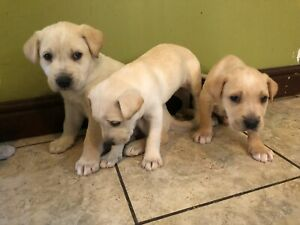 Adorable puppies / chiots