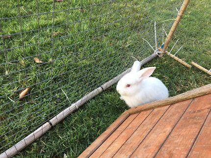 Rabbits New Zealand Giant Flemish Californian