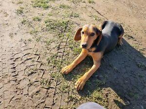 Vizsla x beagle