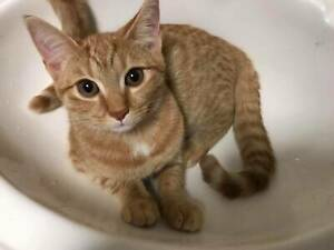 Dana Scully ginger tabby kitten