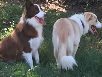 Purebred Border Collie Pups Buccan Logan Area Preview