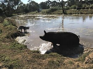 Sows (in pig) and pigs  for sale Cranbourne Casey Area Preview