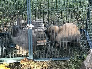 Bunny rabbits and hutch for sale Theodore Tuggeranong Preview