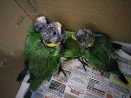 Hand raised Port Lincoln Parrots taking deposit now