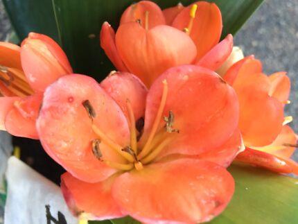 Clivia plants-Orange. NOT FLOWERING  UNAVAILABLE _until 27/11/17