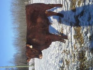 Yearling Red Angus Bull's