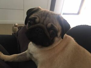SHELBY 6month old female pug Cameron Park Lake Macquarie Area Preview