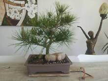 BONSAI LOVERS - MOVING SALE ENDS THIS WEEKEND..come make an offer Newport Pittwater Area Preview